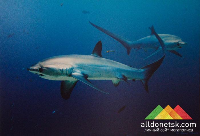 Алексей Стойда. 6-метровые акулы-лисицы рано утром на станции очистки. Филиппины, о.Малапаскуа, 2012 г.