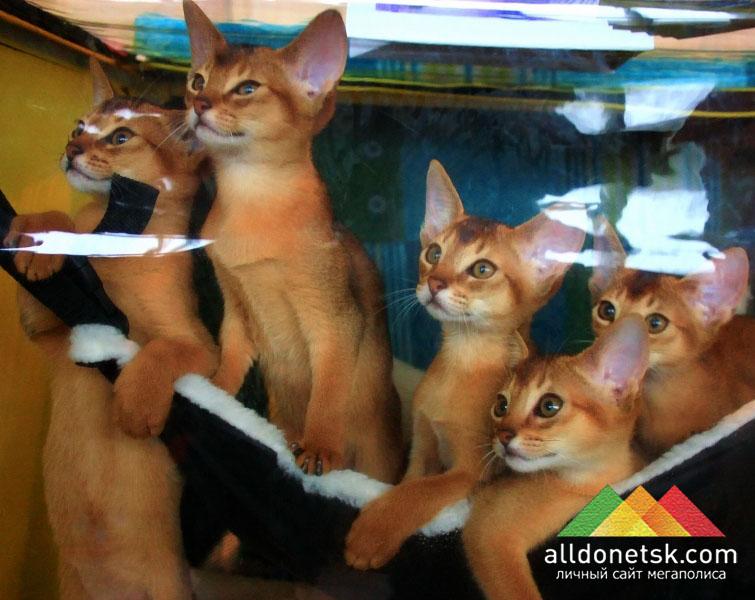 Абиссинские котята с удовольствием поиграют с Вашим ребенком в подвижные игры
