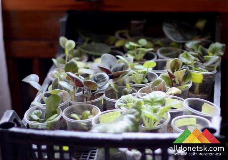 Тут же можно купить ростки разных видов фиалок.